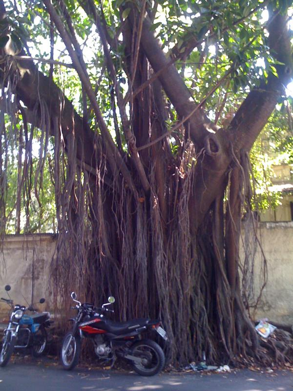 Sao paulo tree