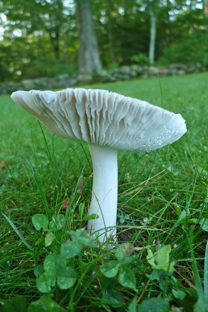 Mushroom ruffled