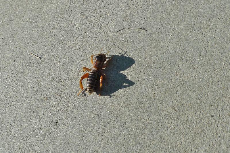 California bug