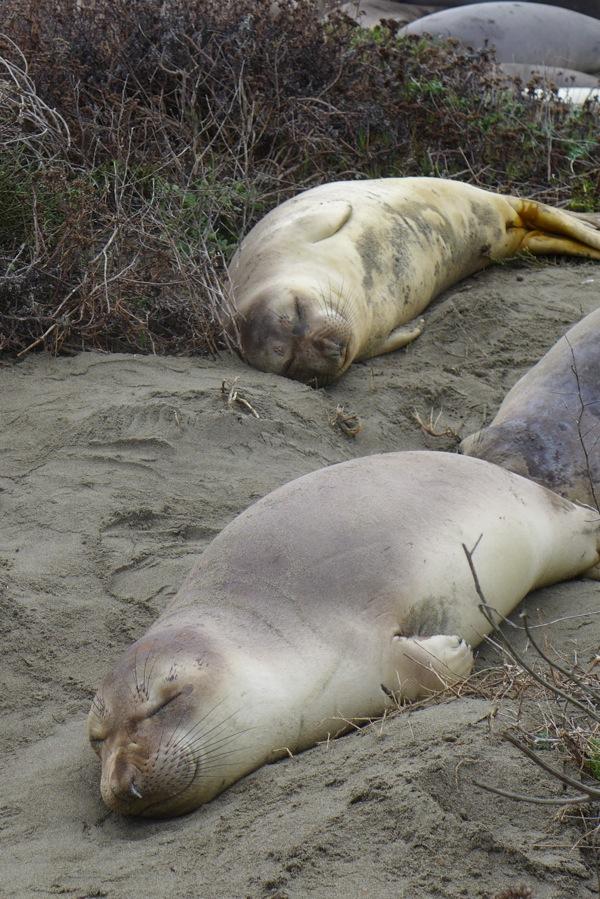 Elephatn seals
