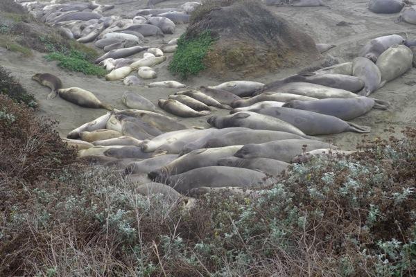 Elephant seal pile