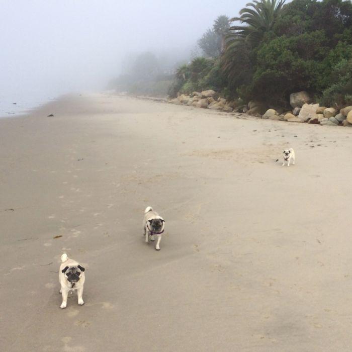 Pugs on beach