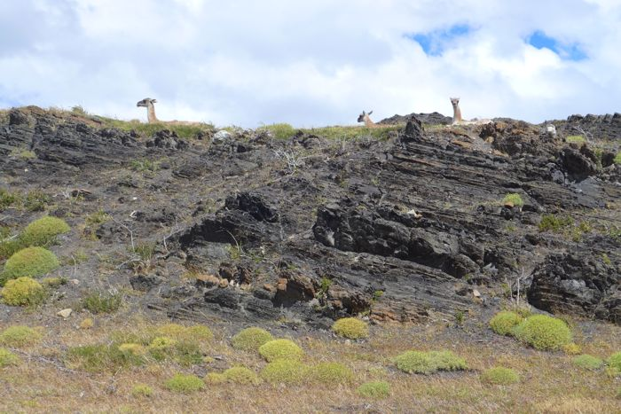 Half day hike guanacos