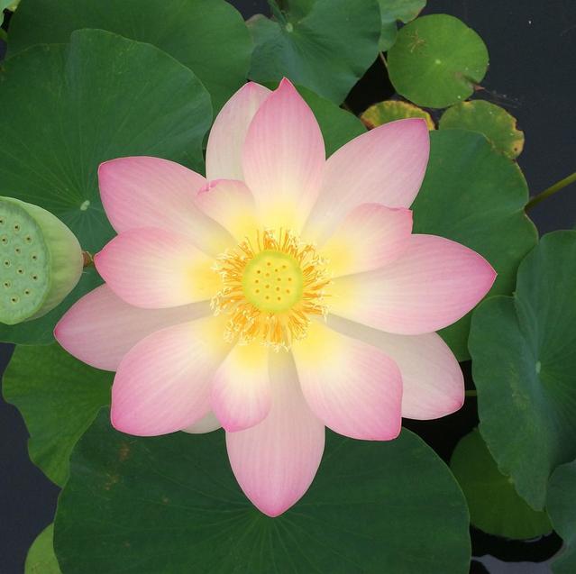 NYBG lotus