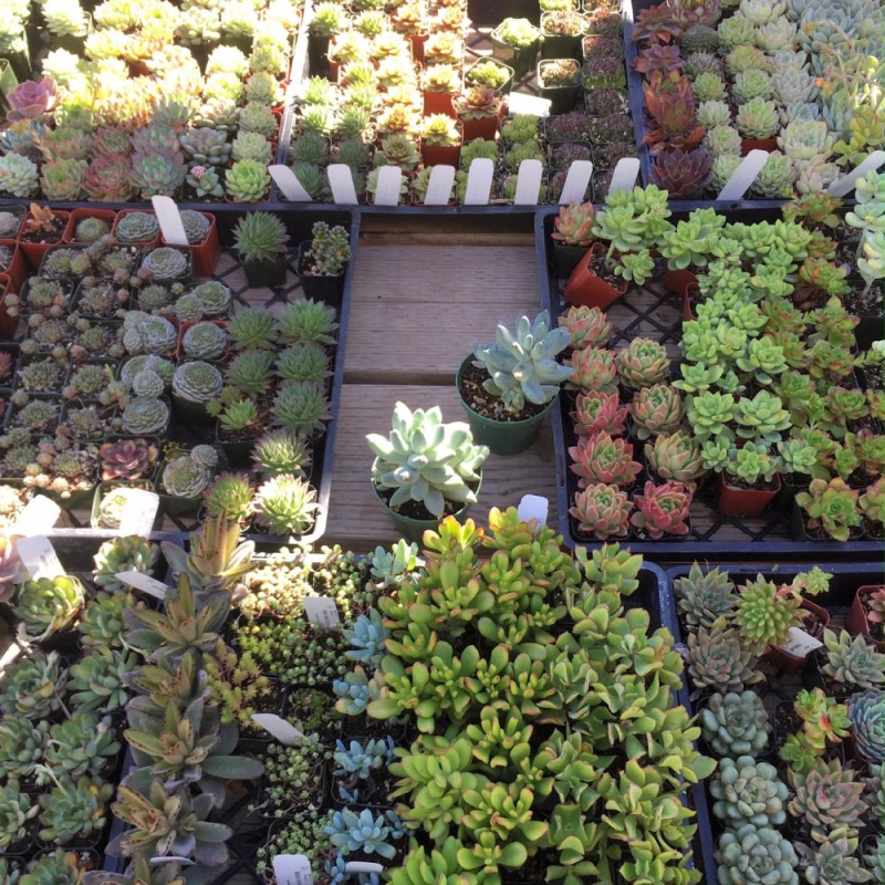Seaside Gardens nursery succulents