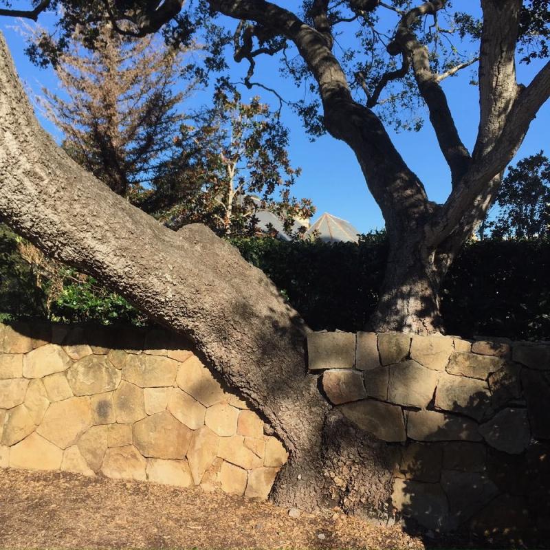 Montecito oak trunk2