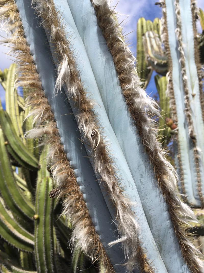 Lotusland cactus fur