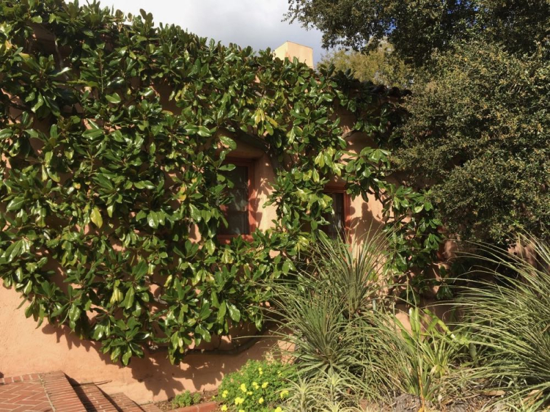 Lotusland espaliered magnolia