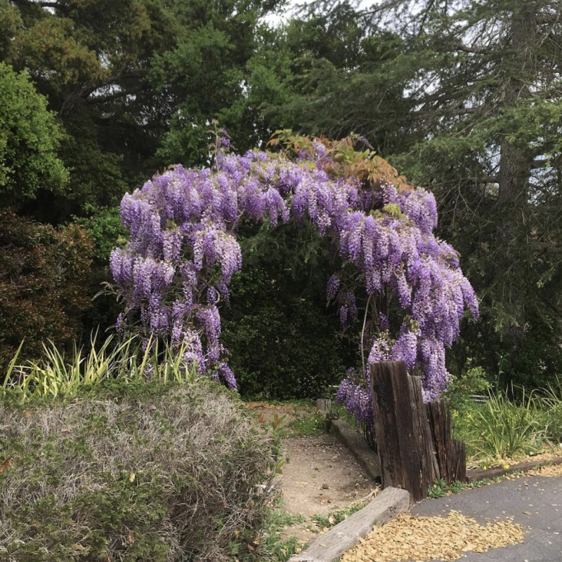 Hope Ranch wisteria