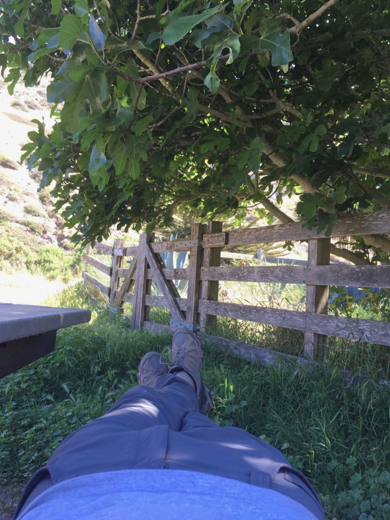 Santa Cruz Island resting under fig tree at Scorpion Ranch