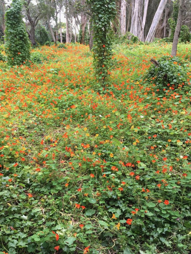 Ennisbrook Preserve nasturtiums