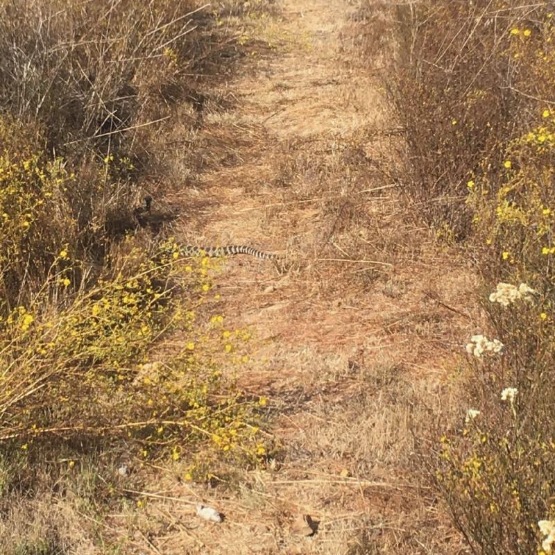 Rattlesnake in Montecito hills