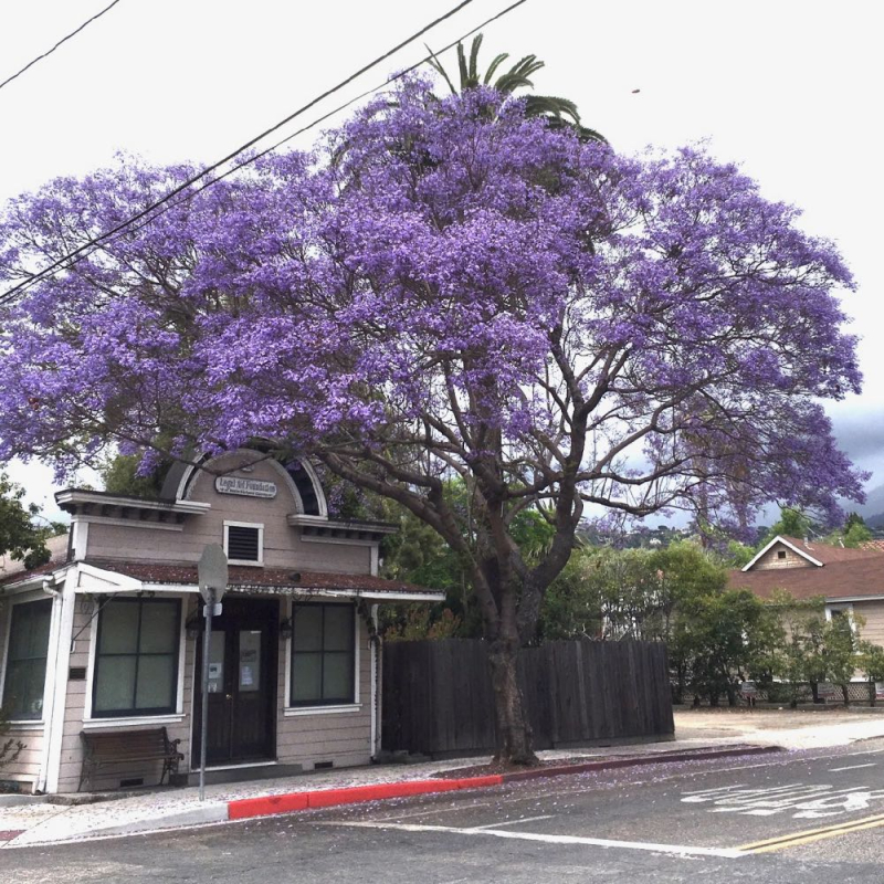 Jacaranda tree in Santa Barbara