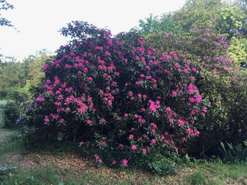 Wanas rhododendron