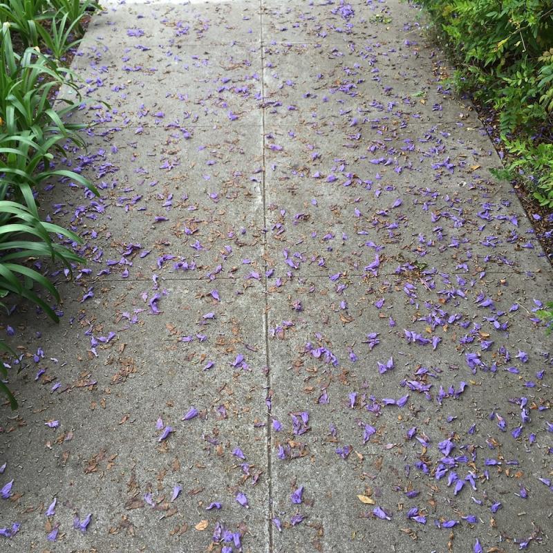 Jacaranda petals