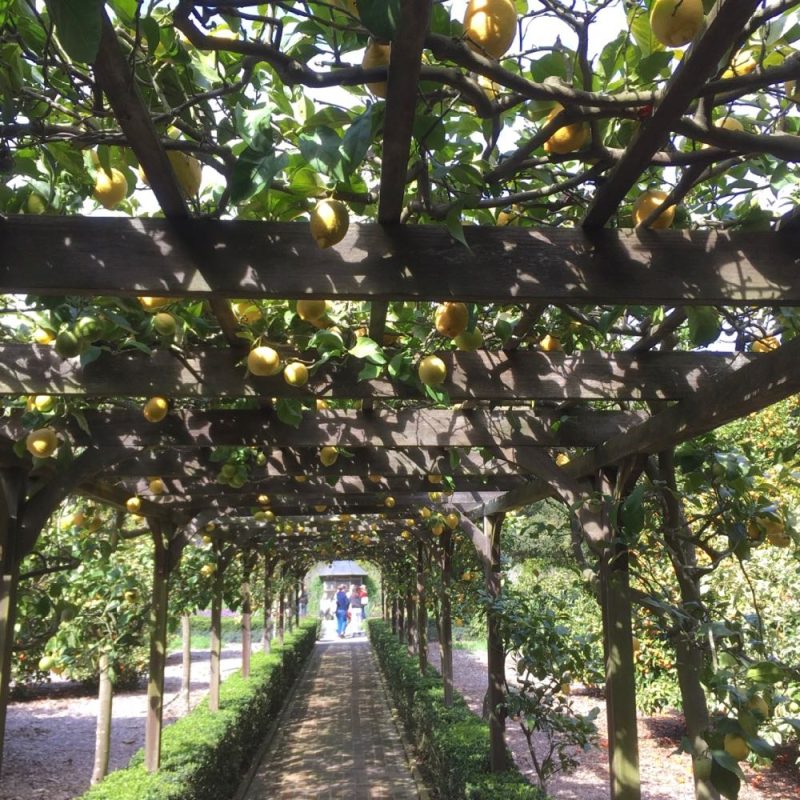 Lotusland lemon trellis