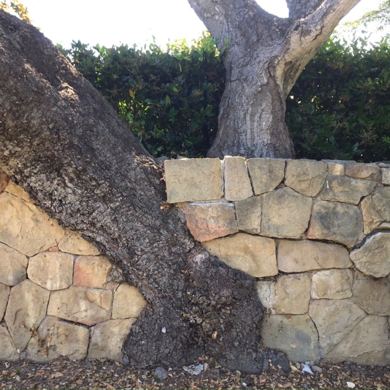 Oak tree in wall on PIcacho Lane