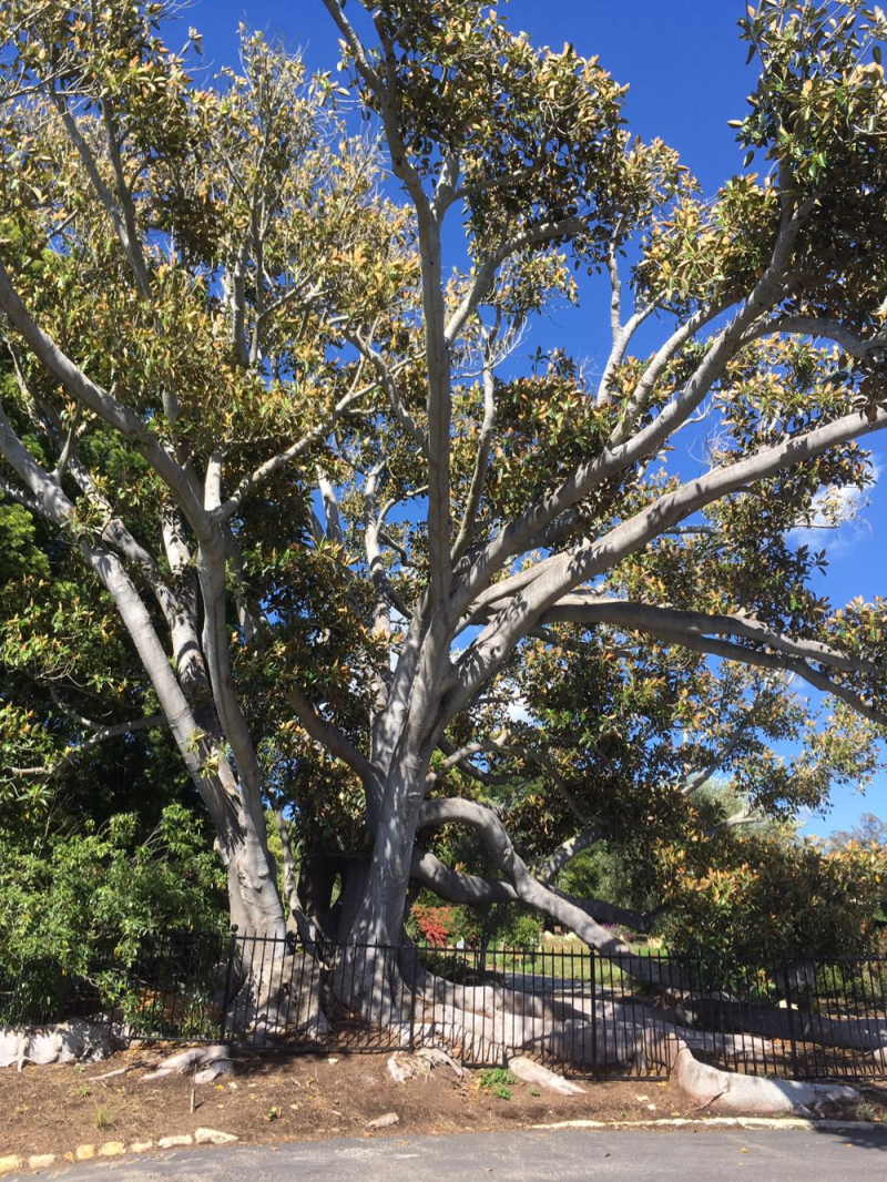 Tree in Riven Rock Montecito
