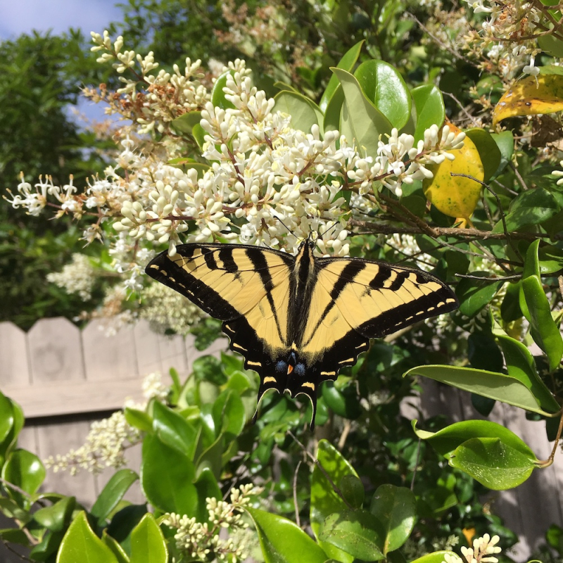 Butterfly in Montecito