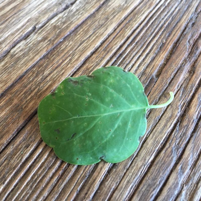 Papalo leaf