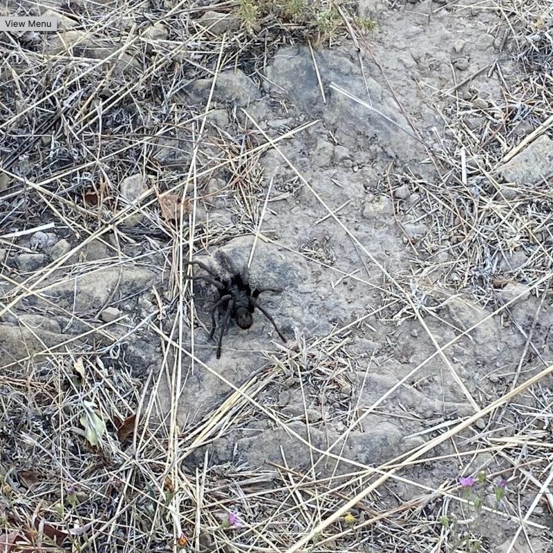 Montecito tarantula