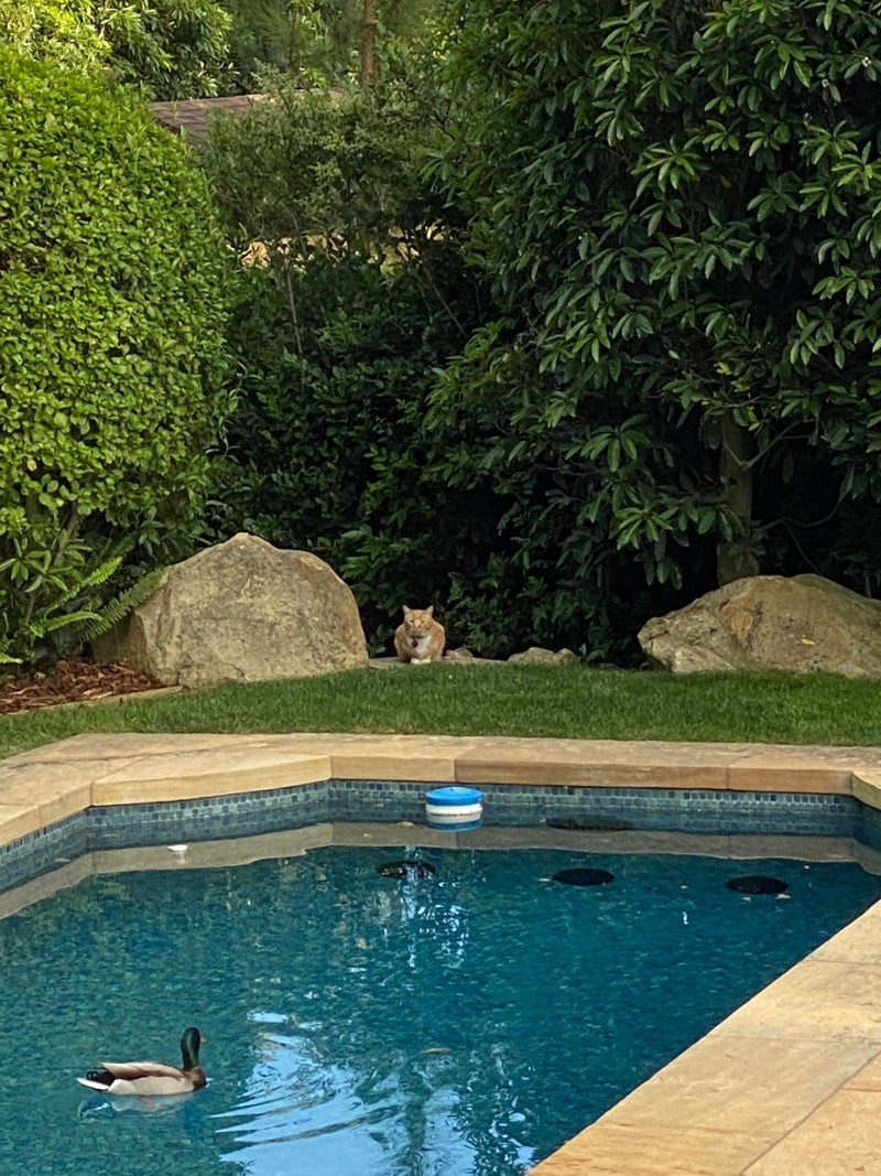 Cat and duck by pool